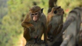 Singe adulte se reposant sur la pierre et mangeant, Sri Lanka clips vidéos