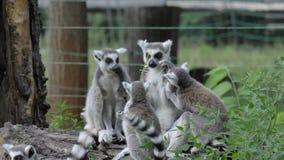Singe animal drôle de lémur de catta, détente de combat sur la vue de fin d'herbe verte clips vidéos