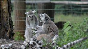 Singe animal drôle de lémur de catta, détente de combat sur la vue de fin d'herbe verte banque de vidéos