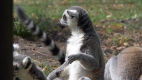 Singe animal drôle de lémur de catta, détente criarde sur la vue de fin d'herbe verte banque de vidéos