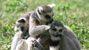 Singe animal drôle de lémur de catta, détente de lavage sur la vue de fin d'herbe verte clips vidéos