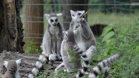 Singe animal drôle de lémur de catta de famille, détendant sur la vue de fin d'herbe verte banque de vidéos