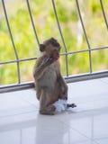 Singe asiatique de bébé en Thaïlande Photos stock