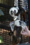 singe au dessus du coton de tamarin étant captivité d'alimentation dedans photos libres de droits