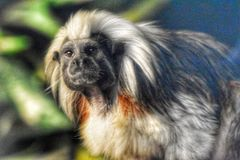 singe au dessus du coton de tamarin photo stock