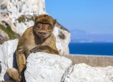 Singe au Gibraltar, singe de Barbarie photos stock