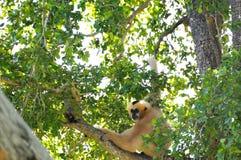 Singe blanc-cheeked de Gibbon (Nomascus) Images libres de droits