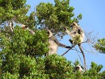 Singe blanc dans l'habitat naturel de l'arbre vert, parc d'?le de Sri Lanka photographie stock libre de droits