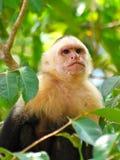 Singe blanc de visage dans la forêt humide Photos stock