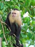 singe Blanc-throated de capucin Images libres de droits
