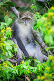 Singe bleu Photo stock