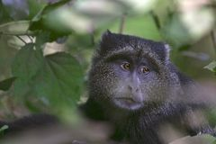 Singe bleu (mitis de Cercopithecus) Photo stock