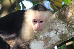Singe Costa Rica de capucin Photos libres de droits