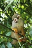 Singe-écureuil Photographie stock libre de droits