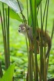 Singe-écureuil dans la forêt tropicale d'Amazone Photos libres de droits