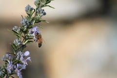 Singe d'abeille Images stock