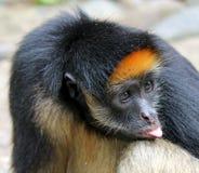 Singe d'Amazone Images libres de droits