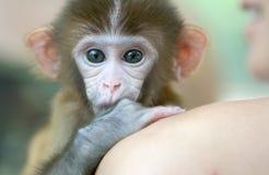 Singe d'animal familier photo libre de droits