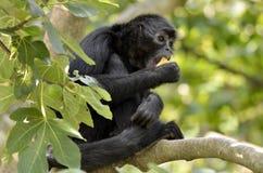 Singe d'araignée à tête noire dans l'arbre Photographie stock libre de droits
