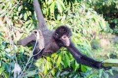 Singe d'araignée atteignant pour la banane Photographie stock