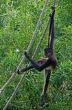 Singe d'araignée sur la corde #2 Photographie stock libre de droits