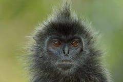 singe d'Argent-feuille Photos libres de droits
