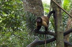 Singe d'hurleur dans le zoo de Singapour photographie stock libre de droits