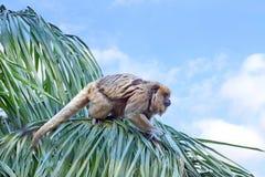 Singe d'hurleur dans un arbre prêt à sauter à un autre arbre photo stock