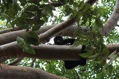 Singe d'hurleur de bébé regardant vers le bas d'une branche, images libres de droits