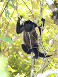 Singe d'hurleur femelle se reposant dans l'arbre, parc national de corcovado, c Image stock