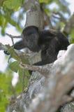 Singe d'hurleur noir de chéri, Belize Photos stock