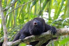 Singe d'hurleur noir hurlant Photo libre de droits