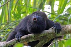 Singe d'hurleur noir hurlant photo stock