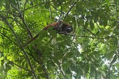 Singe d'hurleur rouge Photo libre de droits