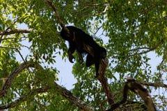 Singe d'hurleur sur un arbre 01 photo libre de droits