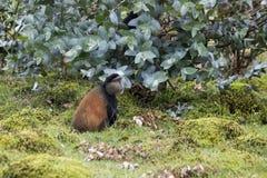 Singe d'or mis en danger dans le domaine, parc national de volcans, Rwan Photo stock