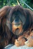 Singe d'orang-outan Photo stock