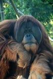 Singe d'orang-outan Images libres de droits