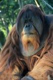 Singe d'orang-outan Photo libre de droits