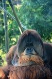 Singe d'orang-outan Photographie stock