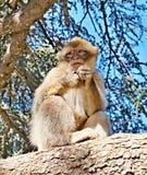 Singe d'un troupeau des singes vivant librement dans les montagnes d'atlas au Maroc Pas du tout effrayé des personnes photos libres de droits