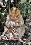 Singe d'un troupeau des singes vivant librement dans les montagnes d'atlas au Maroc Pas du tout effray? des personnes image libre de droits