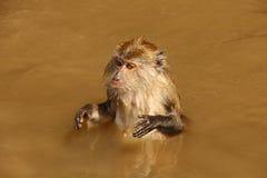 Singe dans l'eau Image libre de droits