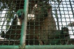 Singe dans la cage Photos stock