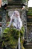 Singe dans la forêt d'ubud, Bali Image libre de droits