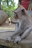 Singe dans la forêt sacrée du singe d'Ubud (Bali, Indonésie) Image libre de droits