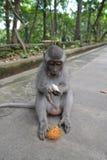 Singe dans la forêt sacrée du singe d'Ubud (Bali, Indonésie) Photos libres de droits