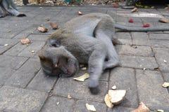 Singe dans la forêt sacrée du singe d'Ubud (Bali, Indonésie) Images stock