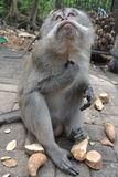 Singe dans la forêt sacrée du singe d'Ubud (Bali, Indonésie) Image stock