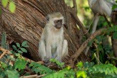 Singe dans la forêt sauvage de nature de l'Afrique photos libres de droits
